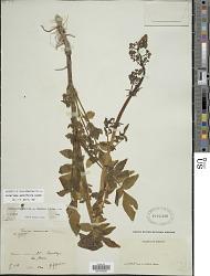 Valeriana sorbifolia Kunth