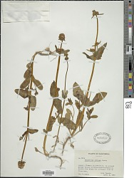 Plectritis ciliosa (Greene) Jeps. subsp. ciliosa