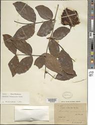 Maniltoa browneoides Harms