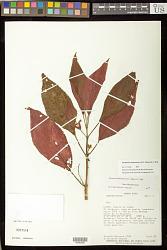 Drymonia ambonensis (L.E. Skog) J.L. Clark