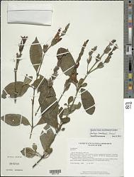Sanchezia ecuadorensis Leonard