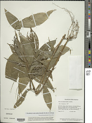 Parodiolyra micrantha (Kunth) Davidse & Zuloaga