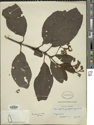 Tournefortia polystachya Ruiz & Pav.