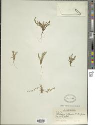 87a926a2 Allocarya californica (Fisch. & C.A. Mey.) Greene
