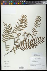 Schinus areira L.