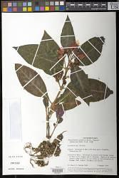 Chrysothemis pulchella 'Amazon'