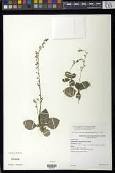 Gloxinia erinoides (DC.) Roalson & Boggan