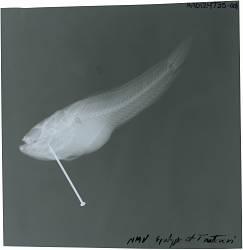 Thalassophryne nattereri