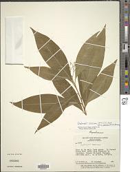 Daphnopsis americana subsp. caribaea (Griseb.) Nevling