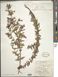 Cuphea dipetala (L. f.) Koehne
