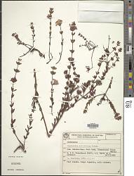 Diplusodon ciliiflorus Koehne