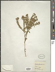 Gnidia racemosa Thunb.