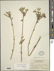 Cuphea lobelioides Griseb.