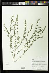 Kummerowia stipulacea (Maxim.) Makino