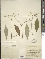 Daphnopsis occidentalis (Sw.) Krug & Urb.
