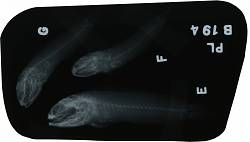 Opistognathus maxillosus