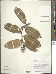 Eschweilera subglandulosa (Steud. ex Berg) Miers
