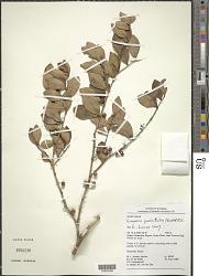 Eugenia punicifolia (H.B.K.) DC.