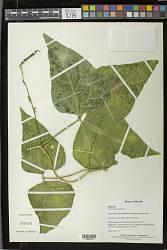 Phaseolus vulgaris L.