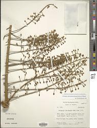 Oreopanax floribundus (Kunth) Decne. & Planch.