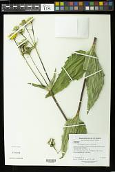 Helianthus sp.