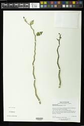 Pedilanthus tithymaloides (L.) Poit.