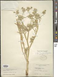 Eryngium vaseyi J.M. Coult. & Rosé