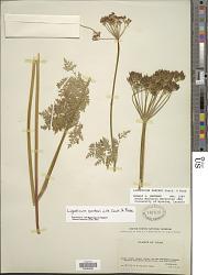 Ligusticum porteri J.M. Coult. & Rose