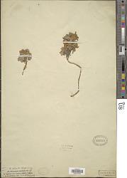 Hydrocotyle tomentosa Thunb.