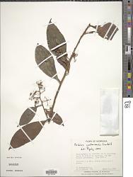 Ardisia costaricensis Lundell