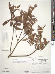 Cybianthus costaricanus subsp. costaricanus