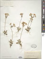 Primula longiflora All.