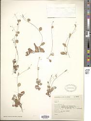 Samolus valerandi var. floribundus (Kunth) R. Knuth