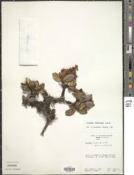 Clethra fimbriata Kunth