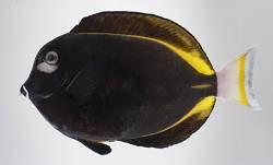 Acanthurus nigricans