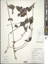 Plumbago scandens L.