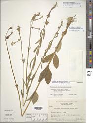 Chelonanthus angustifolius (Kunth) Gilg