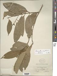 Chionanthus compactus Sw.