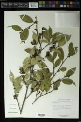 Sycopsis sinensis Oliv.
