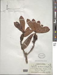 Myrsine pukooensis (H. Lév.) Hosaka