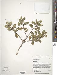 Myrsine alyxifolia Hosaka