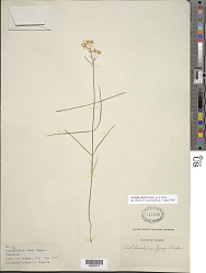 Asclepias feayi Chapm. ex A. Gray