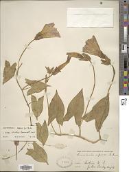 Calystegia sepium subsp. erratica Brummitt