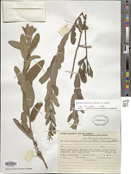 Merremia tomentosa (Choisy) Hallier f.