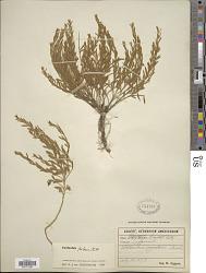Evolvulus pilosus Roxb.
