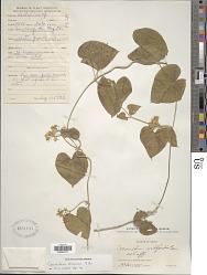 Cynanchum chinense R. Br.