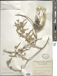 Morrenia odorata (Hook. & Arn.) Lindl.