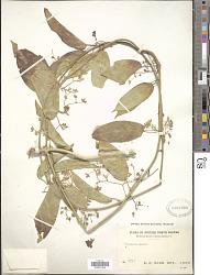 Tylophora sp.