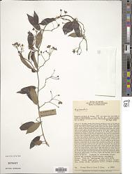 Blepharodon sp.