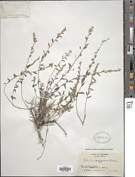 Evolvulus argyreus Choisy